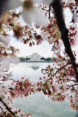 cherry blossom in winter