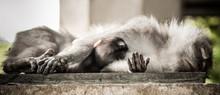 Mother Monkey Sleeping With He...
