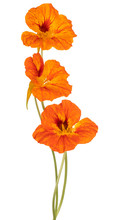 Nasturtium Flower Isolated