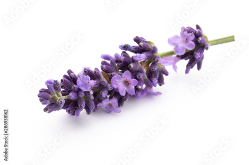 Photo  Lavender flowers on a white background.