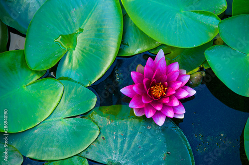 Poster de jardin Nénuphars purple water lily on a natural background of green leaves