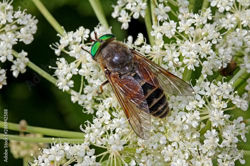 grande mosca dagli occhi verdi (Philipomyia aprica) Canvas Print