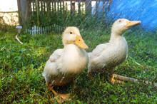 Adolescent American Pekin Duckling