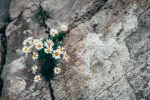 Medicinal Chamomile Growing In The Mountains Among The Rocks. The Texture Of The Stone. Homeopathy Eco-friendly Herbal Concept With Copy Space For Text. High Mountain Climate. Selective Focus
