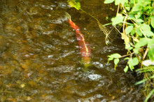 Sockeye And King Salmon Come To Spawn In Cottage Creek Washington Every Fall.