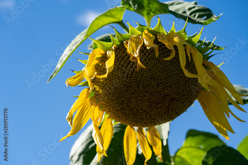 Fotografía Wilting, dying sunflower in a field on a sunny day, concept for end of summer