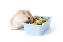 Dwarf Furry Hamster Eats Food ...