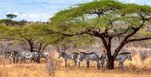 Herd Of Zebras Standing Under Acacia Trees, Kenya