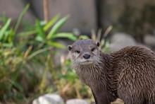Short Clawed Otter, Aonyx Cine...