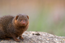 Common Dwarf Mongoose, Helogale Parvula, Close Up Portraits Of Head And Body While Resting Near Grass And On Top Of Rock During Summer.