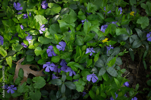 Obraz na plátně Blue botanical periwinkle plant or vinca minor close up