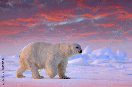 Photo Stands Polar bear Polar bear on drift ice edge with snow and water in Svalbard sea. White big animal in the nature habitat, Europe. Wildlife scene from nature. Dangerous bear walking on the ice.