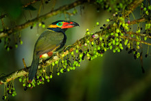 Small Toucan With Fruits. Gold...