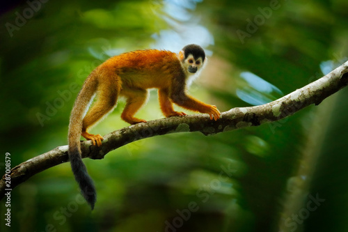 Monkey, long tail in tropic forest Canvas-taulu