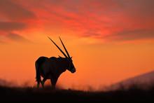 Oryx With Orange Sand Dune Evening Sunset. Gemsbock Large Antelope In Nature Habitat, Sossusvlei, Namibia. Wild Desert. Gazella Beautiful Iconic Gemsbok Antelope From Namib Desert, Sunrise Namibia.