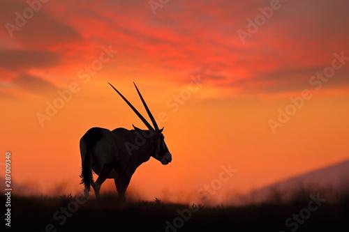 Spoed Fotobehang Antilope Oryx with orange sand dune evening sunset. Gemsbock large antelope in nature habitat, Sossusvlei, Namibia. Wild desert. Gazella beautiful iconic gemsbok antelope from Namib desert, sunrise Namibia.