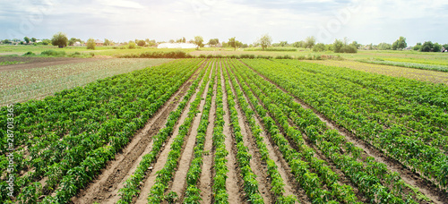 Photo Rows / plantation of young pepper on a farm on a sunny day