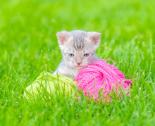 Blue Bengal Kitten With Ball Of Yarn Sitting On Green Summer Grass And Looking At Camera