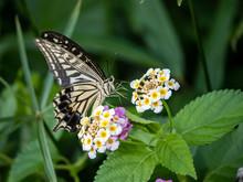Xuthus Swallowtail Butterfly On Lantana Flowers 7