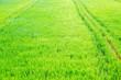 Leinwanddruck Bild - Rice field on landscape background in India