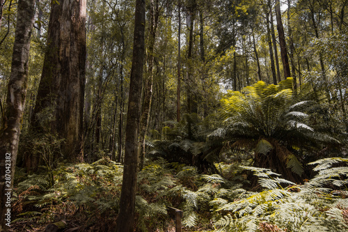 Fotografie, Tablou Forests of Jurassic or prehistoric appearance, covered with ferns, moss and giant eucalyptus trees on the island of Tasmania in Australia