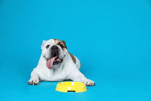 Adorable Funny English Bulldog With Feeding Bowl On Light Blue Background, Space For Text