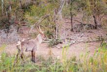 Impala Waterbock Antilope In S...