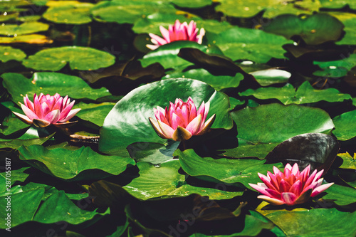 Poster de jardin Nénuphars Lily pads in bloom in a zen like tranquil pond on Bowen Island BC Canada