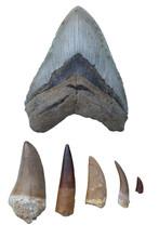Dinosaur Fossils - Megalodon T...