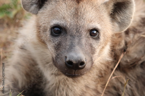 Spotted hyena portrait, Masai Mara National Park, Kenya. Wallpaper Mural