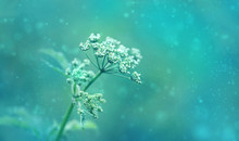 Wild Meadow Blossoming Grass On Abstract Background. Beautiful Spring Or Summer Nature Landscape. Dreamy Magic Artistic Image, Toned In Blue Color. Artistic Flower Template For Design. Shallow Depth.