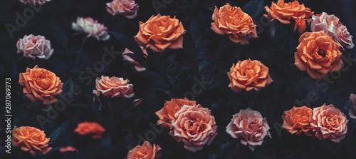 Fotografie, Obraz  Bright roses with black foliage on a black background, dark floral background