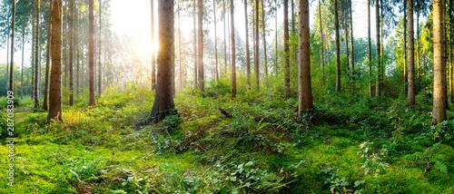 Fotografie, Obraz Sonnenaufgang in einem nebligen Wald mit dicht bewachsenem Waldboden