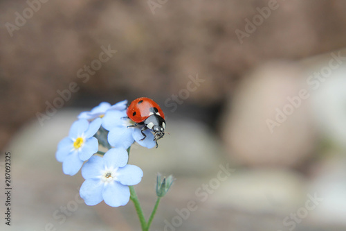 Carta da parati Red ladybug sitting on small blue forget me not flowers
