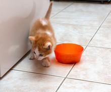 Red Kitten With White Spots Near Orange Bowl On Tiled Floor