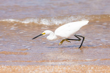 Snowy Egret (Egretta Thula) On The Shore In Florida