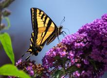 Swallowtail Butterfly On Purpl...