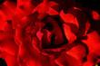 canvas print picture - momento sublime entre la rosa, la luz y mi cámara