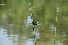 Widow Skimmer In Front Of Water