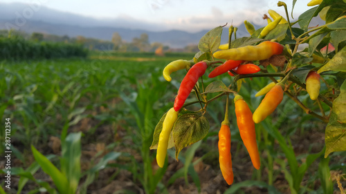 Chili plants in farmers' fields, it seems some have begun to be picked
