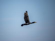 Japanese Temminck's Cormorant Over Tama River 4