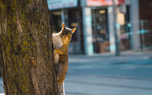 Funny Squirrel In Downtown