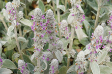 Stachys Byzantina Amb's-ear Or Woolly Hedgenettle Blooming Plant