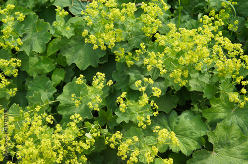 Valokuva  Alchemilla mollis garden lady's-mantle green plant with yellow flowers backgroun