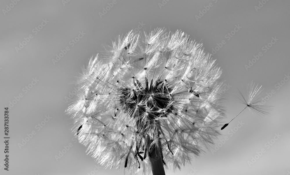 Close up of a Dandelion blow ball in sunlight