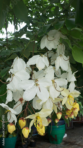 Valokuva Bouganvillea spectabilis white leaf color outdoors