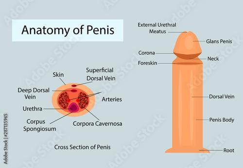 Medical anatomy of penis vector ilustration for medical purposes Fotobehang