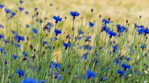 niebieskie-chabry-centaurea-c