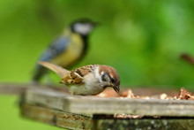 Bird Tree Sparrow Eating Sunflower Grain  And Seeds On Fodder Rack In Summer