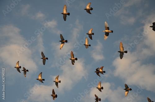 Valokuvatapetti ptactwo, gołąb, gołąb, zwierzak, charakter, belfer, grej, pierze, ptactwo, pierz